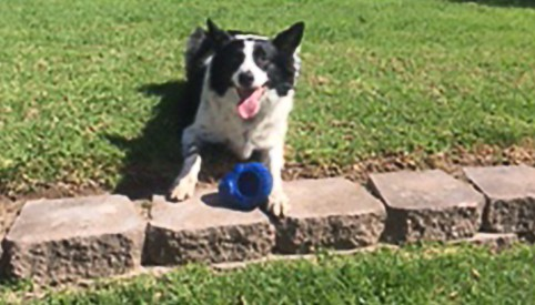 A black and white dog enjoying laying in the grass with a blue toy
